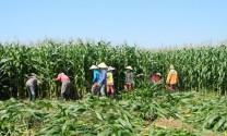 Nghệ An: Thu nhập cao từ ngô non phục vụ chăn nuôi