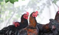 Bà Rịa - Vũng Tàu: Giá heo, gà tăng nhẹ