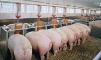 Nghiên cứu vaccine phòng bệnh tiêu chảy ở lợn