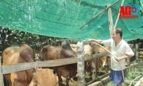 An Giang: Người nuôi bò đạt hiệu quả kinh tế cao