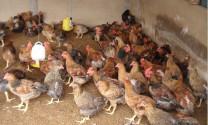 Tương Dương - Nghệ An: Hiệu quả từ nuôi gà an toàn sinh học