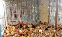 10 bệnh phổ biến ở gà