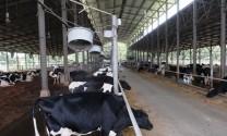 TP Hồ Chí Minh: Duy trì đàn bò sữa 100.000 con
