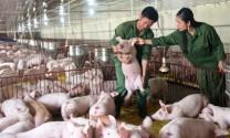 Bỏ Thủ đô về quê... nuôi lợn, lãi tỷ đồng/năm