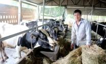 Chuyện làm giàu từ nuôi bò sữa