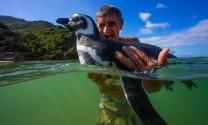 Sự thật chuyện chim cánh cụt về thăm ân nhân