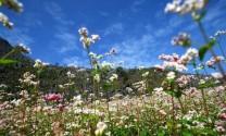 Thổn thức mùa hoa tam giác mạch ở Đồng Văn