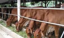 Ninh Bình: Nâng cao chất lượng đàn bò thịt