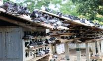 Biện pháp phòng bệnh cho chim bồ câu
