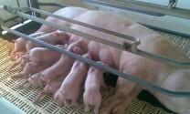 Thái Nguyên: Phát triển hiệu quả từ nuôi heo nái tại Phú Bình