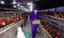 """Danh hiệu """"Sản phẩm Vàng chăn nuôi gia cầm Việt Nam"""": Sản phẩm tốt nhất sẽ được vinh danh"""