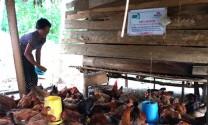 Hòa Bình: Ngành chăn nuôi phát triển ổn định
