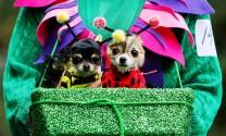 Ngắm chó của giới nhà giàu Mỹ diện đồ Halloween cực chất