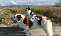 Chuyện tình cảm khó tin của cặp đôi chó khổng lồ - tý hon