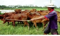 Sống chung với ô nhiễm môi trường từ chăn nuôi