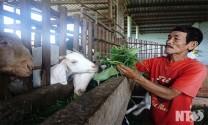 Phước Hậu - Ninh Thuận: Hiệu quả từ nuôi dê lai Bachboer