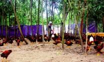 Tam Kỳ - Quảng Nam: Làm giàu từ nuôi gà Kiến Thùng