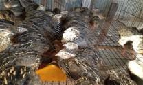 Đắk Nông: Gia đình anh Mai Tùng có thu nhập ổn định từ mô hình nuôi chim cút