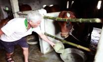 Kỹ thuật chăn nuôi bò lai Zebu sinh sản