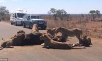 Đàn sư tử mở tiệc giữa đường gây ách tắc giao thông