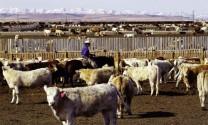 Bắc Mỹ: Thị trường gia súc bắt đầu bình ổn