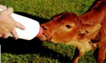 Nuôi bê bằng sữa bột
