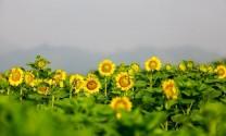 Cánh đồng hoa hướng dương chờ ngày nở rộ ở Nghệ An