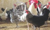 Lâm Đồng: Nuôi gà Ai Cập lai siêu trứng