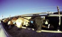 Thiết bị đeo - Công nghệ quản trị chăn nuôi