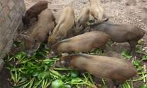 Cà Mau: Heo rừng nuôi dễ, mau giàu
