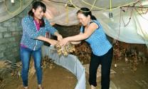 Quảng Ninh: Giữ thương hiệu gà Tiên Yên