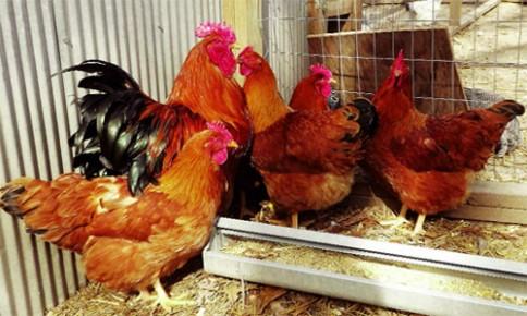 5 giống gà siêu trứng phổ biến ở Việt Nam