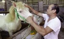 Làng nuôi ngựa bạch nấu cao