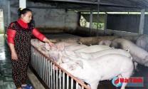 Hà Tĩnh: Cẩm Xuyên vất vả với dịch tai xanh