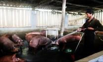 Lào Cai: Người nuôi lợn có nguy cơ mất tết