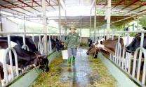 Làm giàu nhờ áp dụng khoa học kỹ thuật vào chăn nuôi bò sữa