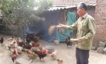 Lúng túng bảo tồn, phát triển giống gà Mía