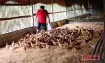 Nghệ An: Người dân miền núi Anh Sơn tập trung tái đàn chăn nuôi sau tết