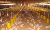 Tây Ninh: Xây dựng thí điểm vùng, cơ sở an toàn dịch bệnh đối với gà hướng tới xuất khẩu