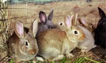 Kỹ thuật chọn giống thỏ