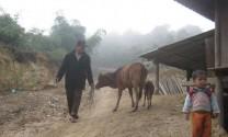 Lào Cai: Gia súc tiếp tục bị chết rét