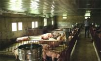 Giảm giá thành trong chăn nuôi: Không thể không làm