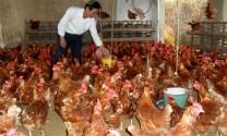 Khánh Hòa: Nâng cao hiệu quả chăn nuôi cho hộ nông dân