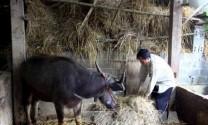 Lào Cai: Gia súc chết rét, thiệt hại 600 triệu đồng