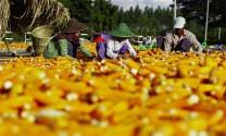 Ngành thức ăn chăn nuôi Myanmar: Dư địa còn rất lớn