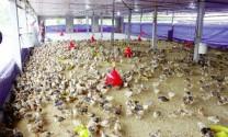 Tái đàn vật nuôi sau Tết: Nông dân không mấy mặn mà