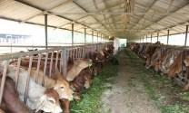 Đắk Lắk: Cải tạo chất lượng đàn bò nuôi