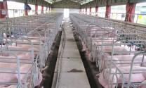 Thanh Hóa: Không quá chú trọng chăn nuôi heo công nghiệp