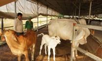 Sóc Trăng: Hiệu quả chăn nuôi bò siêu thịt tại Mỹ Xuyên