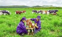 Chăn nuôi công nghệ cao: Cùng làm sẽ thắng?
